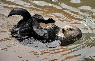 speelse zeeotter (enhydra lutris) foto