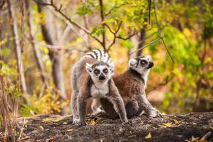 maki in Madagaskar foto