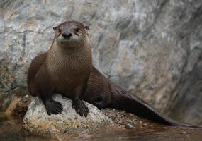 Noord-Amerikaanse rivierotter foto