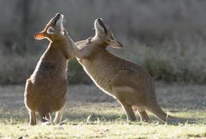 behendige wallaby's foto