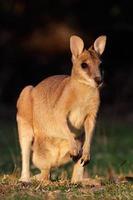 behendige wallaby foto