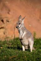 rode kangoeroe baby foto