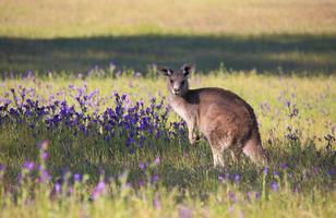 kangoeroe in een gebied van bloeiende bushland foto