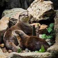 glad gecoate otter - lutrogale perspicillata foto