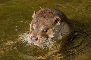 Europese otter (lutra lutra) foto