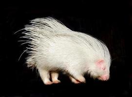 albino stekelvarken geïsoleerd foto