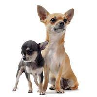 puppy chihuahua en vrouw foto
