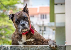 boxer hond foto