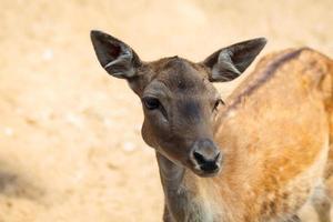 kleine herten in het nationale park van thassos.
