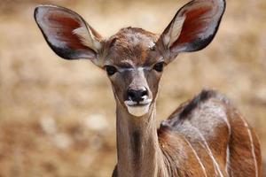 jonge impala antilopen foto