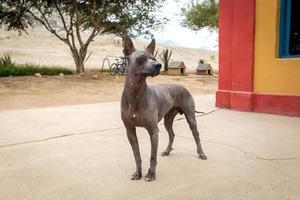 Peruaanse haarloze hond foto
