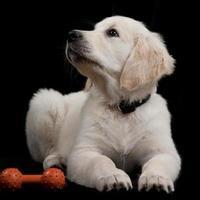 golden retriever pup foto