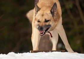 agressieve hond foto