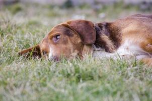 slaperig gemengd rashond in het gras foto
