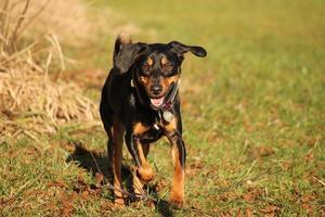 hund rennt auf betracher zu. running dog - vooraanzicht foto
