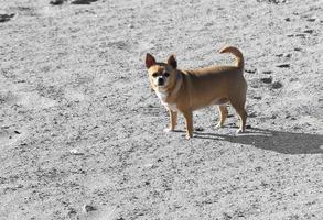 chihuahua loopt door de woestijn foto