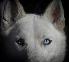 witte Siberische husky hond met blauw oog foto