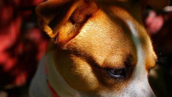 close-up van de ogen van de hond op onscherpe rode achtergrond foto