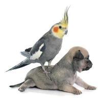 jonge pups chihuahua en valkparkiet foto