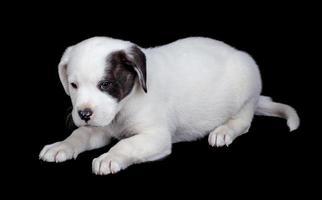 witte pup geïsoleerd op zwart foto