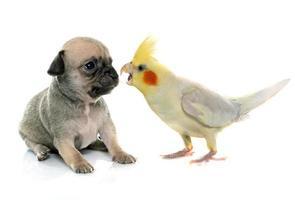 jonge puppy chihuahua en valkparkiet foto