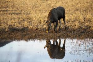 elch, eland - vrouw