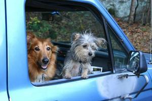 honden in een pick-up truck foto