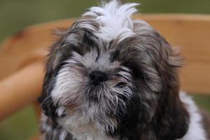 shih tzu puppy foto