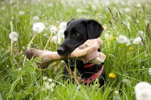 hond met een groot bot foto