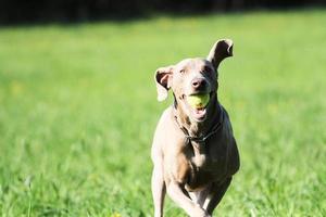 weimaraner hond foto
