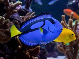 paracanthurus hepatus, een prachtige blauwe en zwarte vis foto