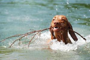 junger hund schwimmt im see foto