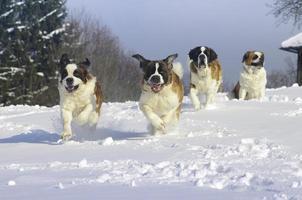 st. bernardhonden koel in de sneeuw foto