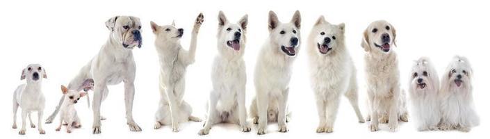 witte honden foto