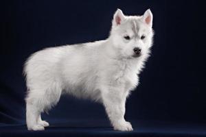 schattige kleine puppy van syberian husky foto