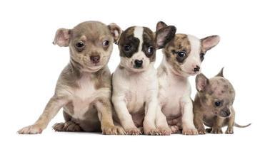 groep van chihuahuas pups zitten in een rij foto