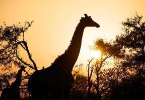 giraffe zonsopgang foto