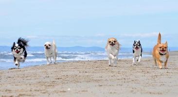 chihuahuas op het strand foto
