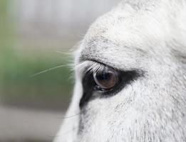 oog van een witte ezel foto
