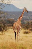giraffe in het wild