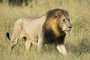 Afrikaanse leeuw (panthera leo) Zuid-Afrika foto