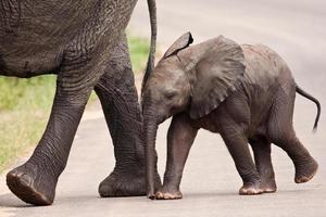 babyolifant die naast zijn moeder loopt foto