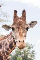giraffe hoofd geschoten - verticaal foto