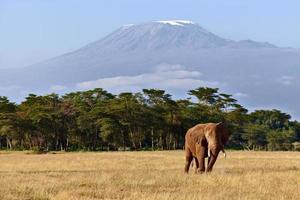 eenzame olifant in de vlakte aan de voet van de kilimanjaro foto
