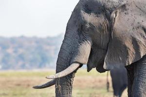 hoofd van de olifant