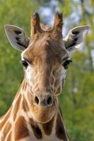 portret voorzijde van giraffe