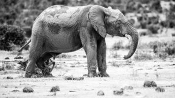 olifanten, Zuid-Afrika foto