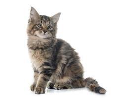 Maine coon kitten foto