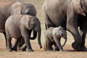 Afrikaanse olifantenkudde