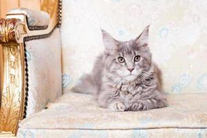 jonge maine coon cat foto